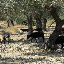 Goats wandering beneath the ancient olive trees