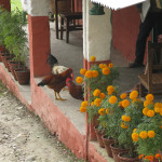 Chickens and marigolds