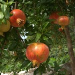 Pomegranate , symbol of the country