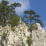 Pines clinging to the gorge